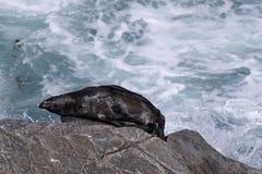 Ein Sonnenbad nehmende Robbe Lizenzfreie Stockbilder