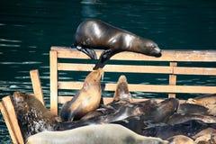 Ein Sonnenbad nehmende Robben an Monterey-Hafen Kalifornien stockfoto