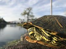 Ein Sonnenbad nehmende Schildkröte stockbild