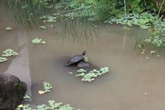 Ein Sonnenbad nehmende Schildkröte Lizenzfreies Stockbild