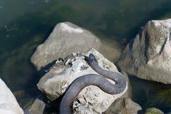 Ein Sonnenbad nehmende Schlange auf den Felsen an einem sonnigen Tag Stockfotografie