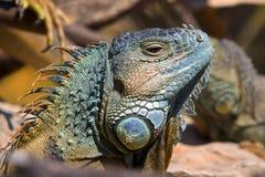Ein Sonnenbad nehmender Leguan stockbilder