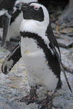 Ein Sonnenbad nehmender Pinguin Stockbild