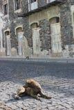 Ein Sonnenbad nehmender streunender Hund in der trostlosen Stadt in Santo Antao Stockfotos