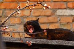 Ein sonniger fauler Tag Eine schwarze gähnende Katze beim Lügen auf einem Hintergrund des roten Backsteins lizenzfreie stockfotografie