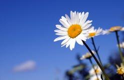 Ein sonniges Gänseblümchen auf einem Hintergrund des blauen Himmels Stockfotografie