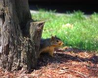 Ein spähendes Eichhörnchen Stockbild