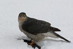 Ein Sparrowhawk am Mittagessen Stockbild