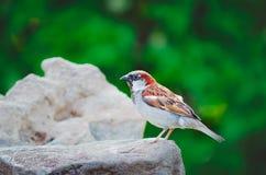 Ein Spatz sitzt auf einem Felsen an einem Sommertag stockfoto