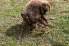 Ein spielerischer junger Gelada-Pavian mit Mama Stockfotos