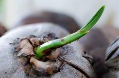 Ein Sprössling des Kokosnussbaums Stockbild