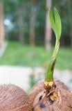 Ein Sprössling des Kokosnussbaums Stockfoto