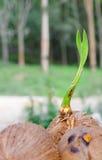 Ein Sprössling des Kokosnussbaums Lizenzfreie Stockbilder