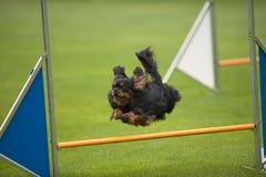 Ein Springen Königs Charles Spaniel stockfoto