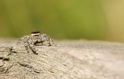 Ein springendes Spinne Marpissa-muscosa, das wartet, um sich auf seine folgende Mahlzeit zu stürzen Stockfoto