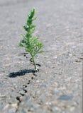 Ein Sprung im Asphalt Bedecken Sie den Wermut mit Gras, der in einem Sprung auf der Straße wächst Stockfotos
