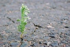 Ein Sprung im Asphalt Bedecken Sie den Wermut mit Gras, der in einem Sprung auf der Straße wächst Kopieren Sie Räume Lizenzfreie Stockbilder