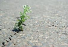 Ein Sprung im Asphalt Bedecken Sie den Wermut mit Gras, der in einem Sprung auf der Straße wächst Kopieren Sie Räume Stockfoto