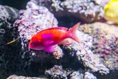 Ein squarespot anthias kennen auch als das quadratische Stelle feenhafte basslet einen vibrierenden bunten tropischen Fisch des P lizenzfreie stockfotos