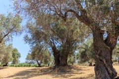 Ein Stand der alten Olivenbaumplantage lizenzfreie stockbilder