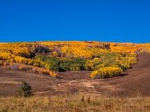 Ein Stand des Herbstes färbte Espen auf einem Abhang Stockbilder