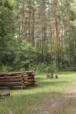 Ein Stapel von meldet eine Reinigung im Kiefernwald an Lizenzfreies Stockbild