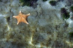 Ein Starfish auf dem Meeresgrund stockbild