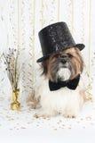 Ein stattliches Shih Tzu feiert des neuen Jahres Stockbild