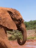 Ein staubiger junger Elefant Lizenzfreies Stockbild
