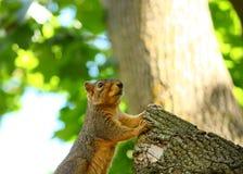Ein stehendes Eichhörnchen Stockbild
