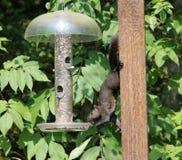 Ein stehlendes Eichhörnchen Stockbilder