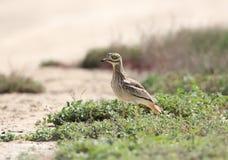 Ein Stein des großen Brachvogels verstecken sich im Gras Lizenzfreie Stockfotos