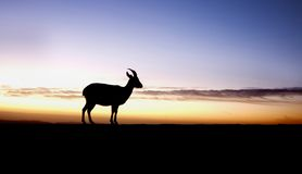 Ein Steinbock auf Sonnenaufgang Lizenzfreies Stockfoto