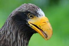 Ein Stellers-Meer Eagle Stockbilder