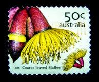 Ein Stempel, der in Australien gedruckt wird, zeigt ein Bild grober leaved Mallee-Blume auf Wert bei Cent 50 Stockfotos