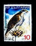 Ein Stempel, der in Russland gedruckt wird, zeigt ein Bild von Accipiter gentilis Vogel Stockfoto