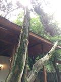 Ein sterbender Baum Stockfoto