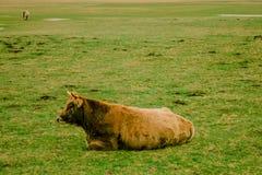 Ein Stier auf einem Gebiet Stockbilder