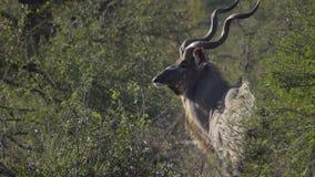 Ein Stier Kudu-Drehungen zum Profil