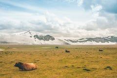 Ein Stier und schneebedeckten Berge Stockfotografie