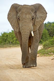 Ein Stoßzahn-Elefant Lizenzfreie Stockfotos