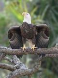 Eagle-Flügel-Verbreitung stockfotografie