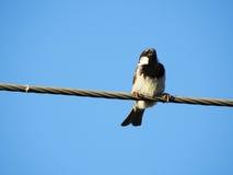 Ein stolzer Spatz, der auf einem Kabel sitzt lizenzfreies stockfoto