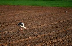 Ein Storch auf einem gepflogenen Feld lizenzfreies stockbild