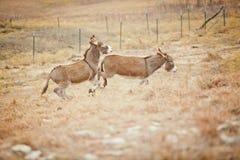 Ein sträubender Esel Stockfotografie