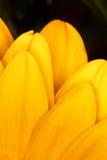 Ein Strahl des Anziehens von hellen gelben Blumenblättern schließen oben auf einem schwarzen Hintergrund Stockbild