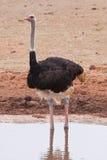 Ein Strauß im Addo Safari-Park, Südafrika Lizenzfreie Stockbilder
