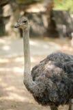 Ein Strauß im Zoo Stockbilder