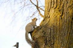 Ein Streifenhörnchen, das Nuss isst stockfotografie