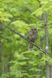 Ein Streifenkauz Strix varia im Frühjahr gehockt auf Jagden der Niederlassung Waldfür eine Mahlzeit in Kanada lizenzfreies stockfoto